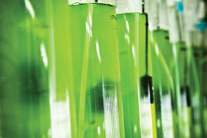 Sapphire Energy Inc. is one of the local companies developing algae-based biofuels.