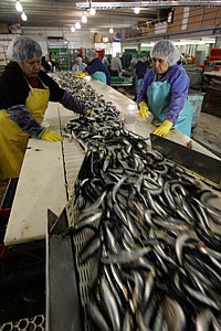 Workers sort sardines at Fish Harbor.
