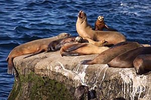 Sea lions sun on the rocks overlooking La Jolla Cove. Merchants say the mammals' scat is contributing to strong odors that are driving away business.