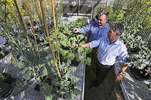 San Diego-based Cibus is developing a process to edit plant genes as opposed to introducing new genes, which is the traditional gene-modification model. VP of Research Greg Gocal (left) and CEO Peter Beetham are shown here checking out the canola plants at one of their local greenhouses.