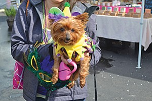 A Yorkie jester enjoyed the Fifth Annual Doggie Gras Parade held by Helen Woodward Animal Center to promote and raise money for rescue.  Photo courtesy of the Helen Woodward Animal Center