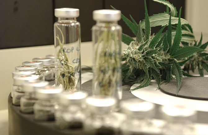 Greenwich Biosciences is developing a seizure medicine derived from the cannabis plant. Photo courtesy of GW Pharmaceuticals Plc.