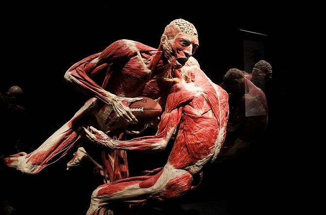 Taking Run at Anatomy: Pair of figures featured in 'Body Worlds: Pulse' exhibition.