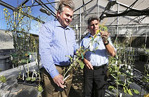 Cibus executives Greg Gocal, left, and Peter Beetham check out canola plants in the company's greenhouse.