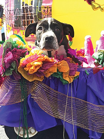 An orphaned spaniel mix rides in a float at the Sixth Annual Doggie Gras Parade put on by Helen Woodward Animal Center. Photo courtesy of Helen Woodward Animal Center