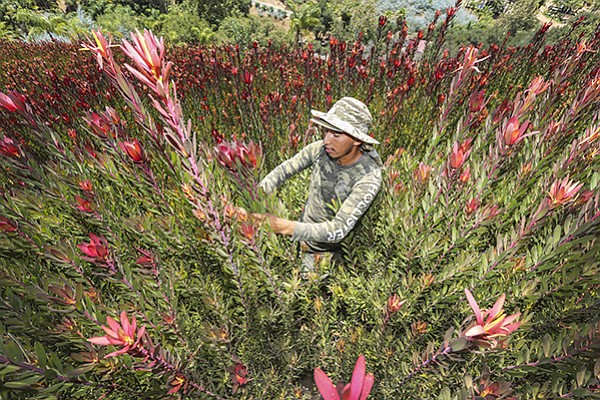 Daniel Ruiz tends to Safari Sunset plants at Kendall Farms in Fallbrook.