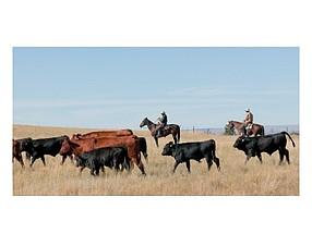 On the hoof: Angus steers headed for West Coast
