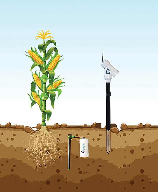 GroGuru's sensors are buried in the ground near the roots of plants, where they can provider growers with information on soil moisture and salinity. Image courtesy of GroGuru