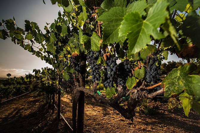 Bernardo Winery produces about 15 varietals of wine grapes, according to the company. Photo courtesy of Bernardo Winery.