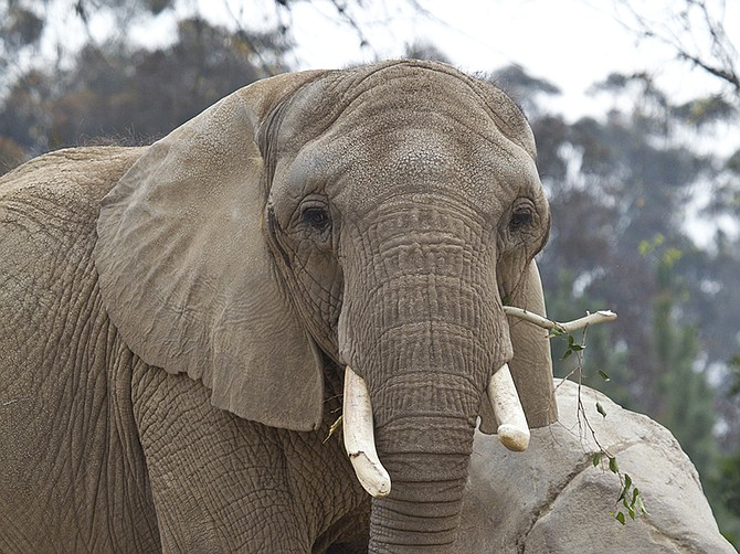 Photo courtesy of San Diego Zoo Global. San Diego Zoo Global is partners with an elephant sanctuary in Kenya that is restoring orphaned elephants.
