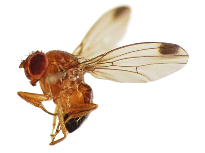 Image courtesy of Agragene. Agragene will use sterile male flies dropped from drones as a chemical-free way to protect crops.