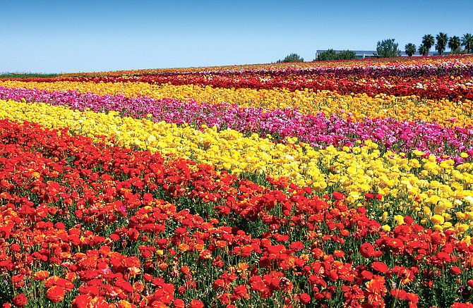 Photo courtesy of The Flower Fields at Carlsbad Ranch. This year, the Flower Fields at Carlsbad Ranch was scheduled to open for 10 weeks from March 1 through May 10 and was projected to host more than 200,000 visitors.
