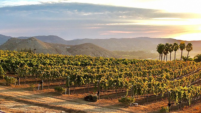 San Diego County wineries generated over $37 million in sales in 2020. Photo Courtesy of Hungry Hawk Vineyard & Winery.