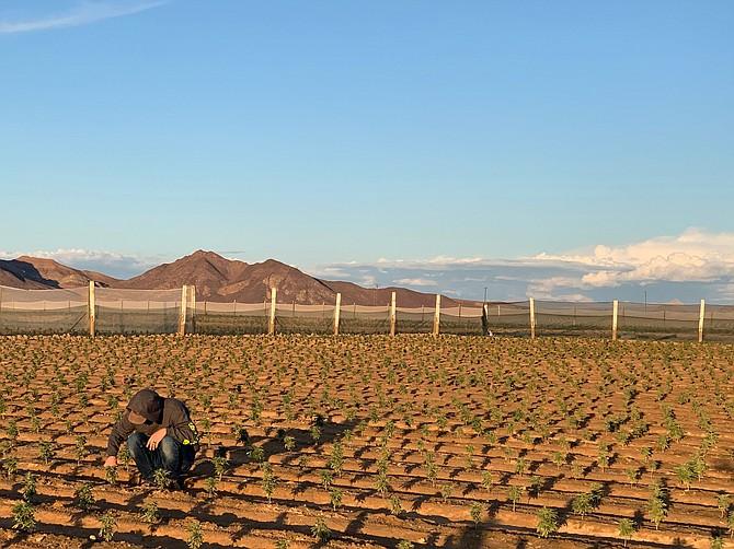 Hemp cultivation by SoCal Hemp on Cadiz Inc.'s Mojave Desert land.