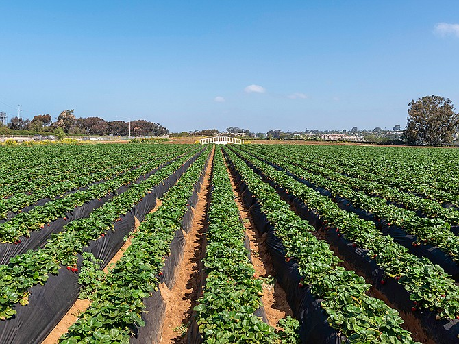 The Ukegawa family started the Carlsbad Strawberry Company in 1952 and is known for its U-Pick attraction where people can harvest their own strawberries. Photo Courtesy of Carlsbad Strawberry Company.