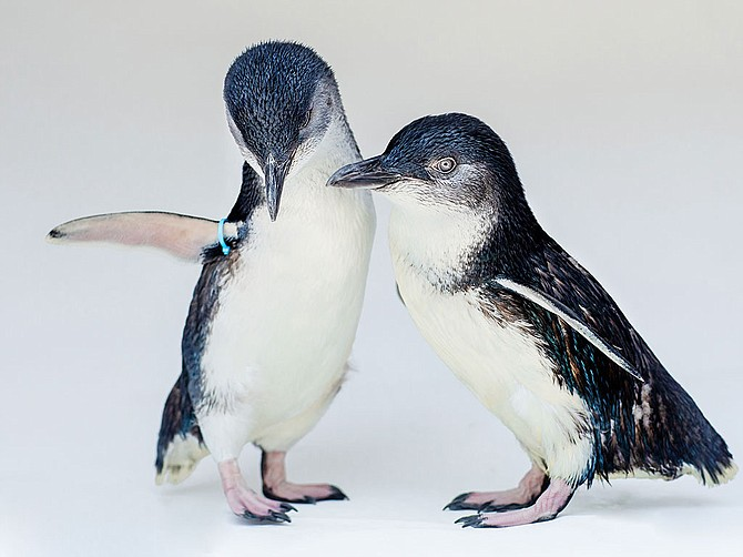 Photo Courtesy of Birch Aquarium at Scripps Institution of Oceanography at UC San Diego. Birch Aquarium at Scripps Institution of Oceanography at UC San Diego will introduce the Beyster Family Little Blue Penguins habitat next summer.